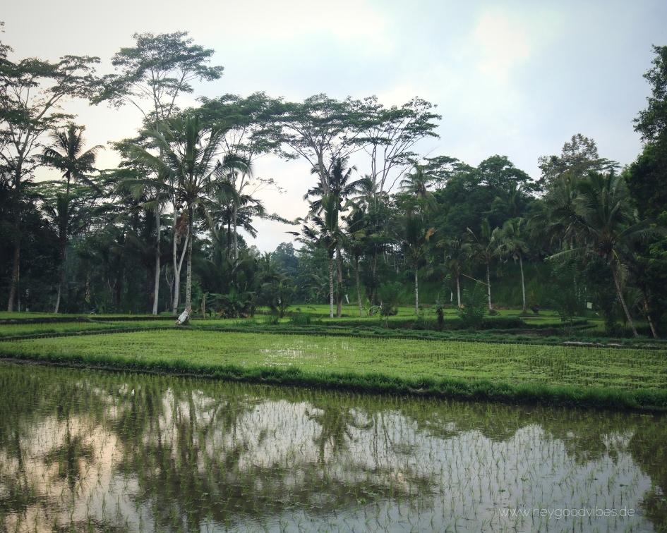 Bali Natur Reisanbau