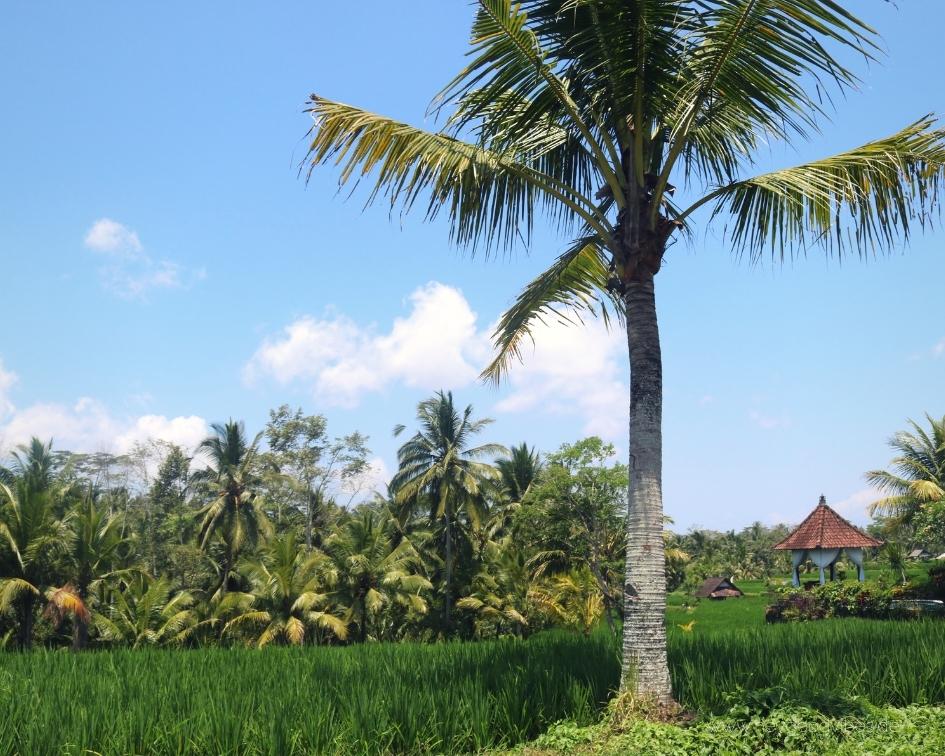 Bali Natur Palmen